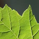 LeafClose-up
